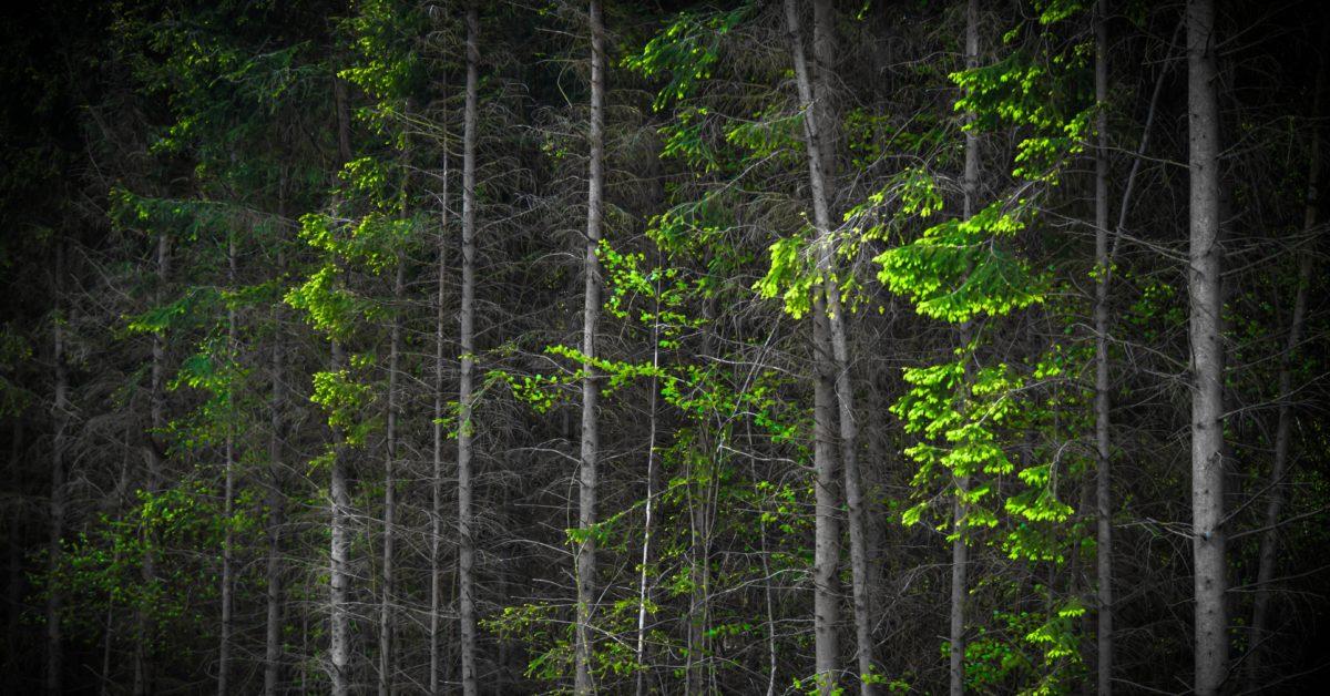 leaf, tree, wood, landscape, nature, forest, conifer, darkness