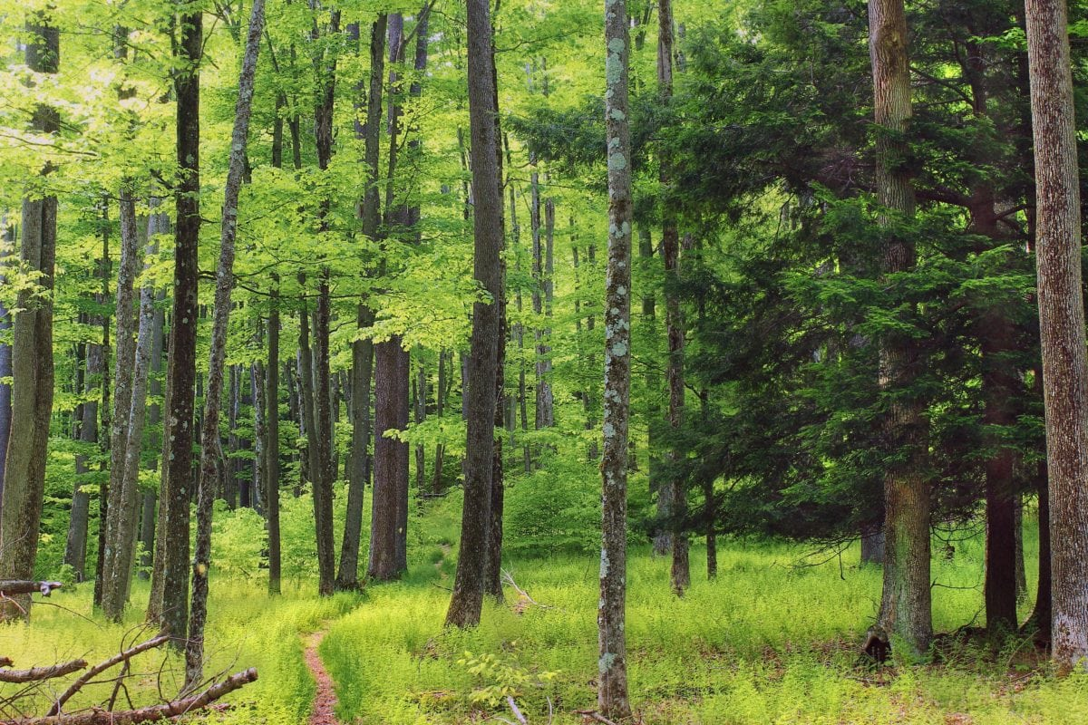 list, příroda, strom, dřevo, krajina, léto, bříza, Les