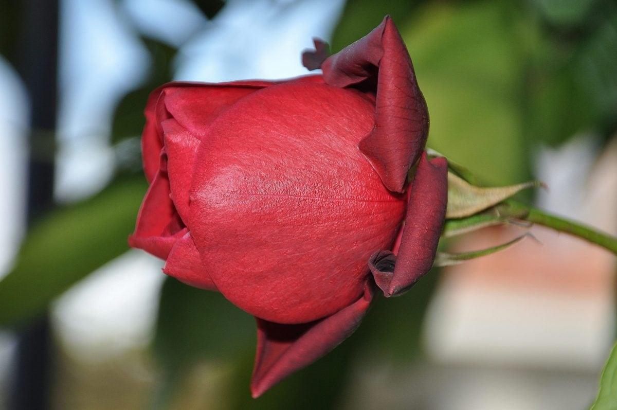 rose rouge, jardin, nature, feuille, bourgeon de fleur, pétale, plante, fleur
