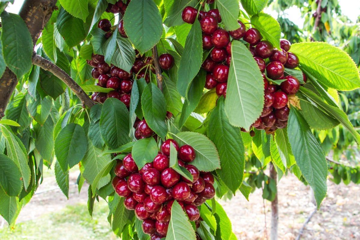 Frugtplantage, røde kirsebær, frugter, natur, blade, fødevarer, træ, plante, filial