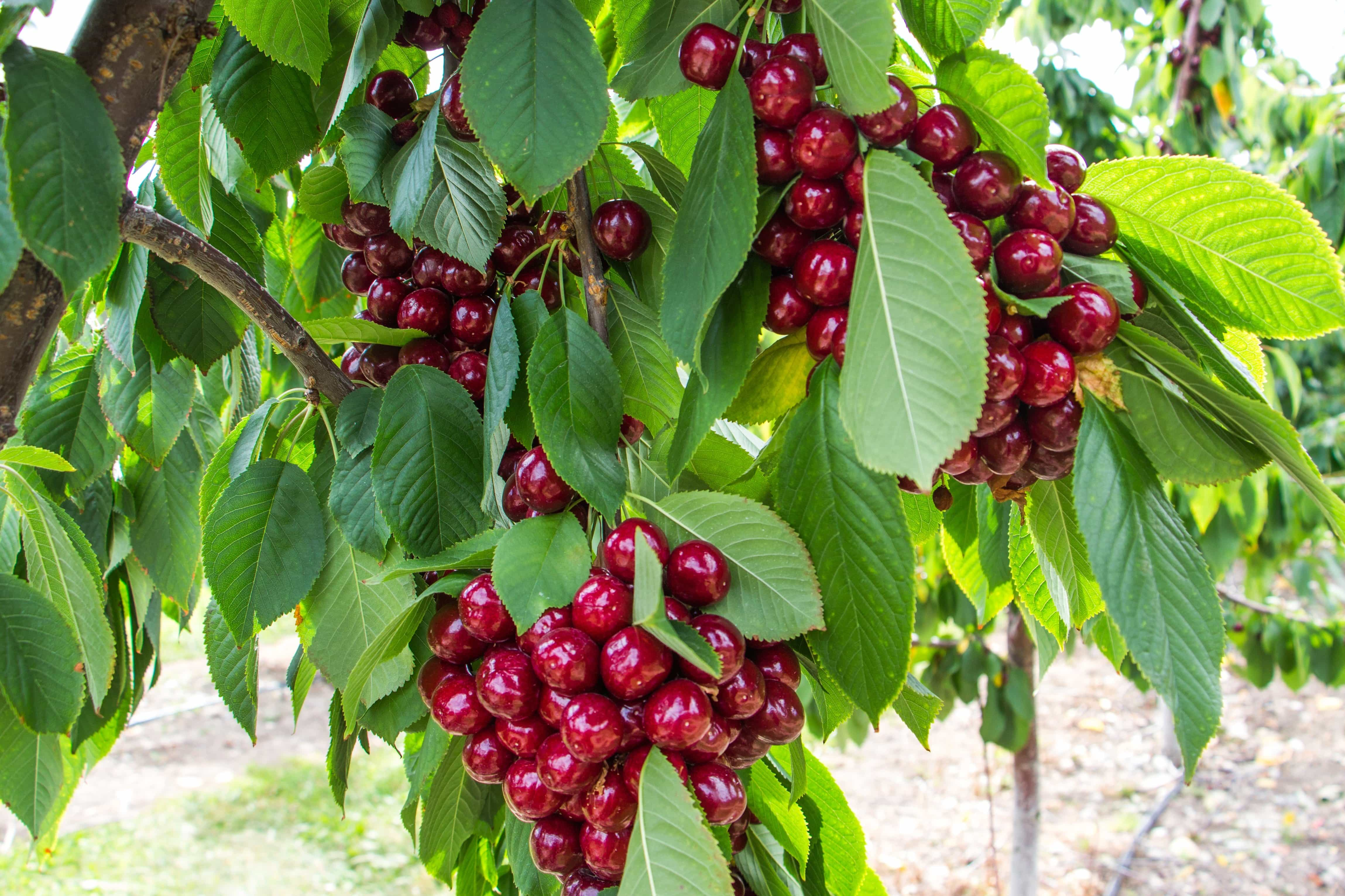 free picture  orchard  red cherry  fruit  nature  leaf