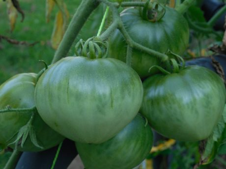 green tomato, agriculture, food, vegetable, nature, garden, green leaf