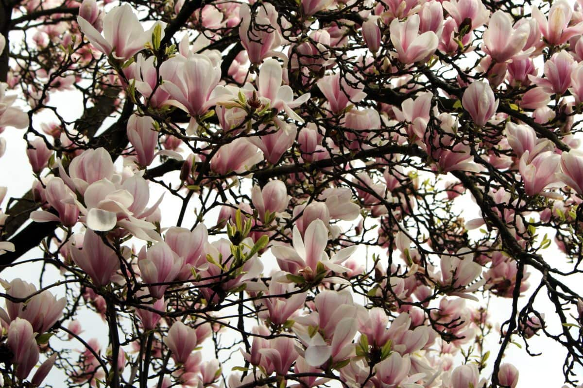 Free Picture Magnolia Tree Leaf Branch Flower Nature Garden