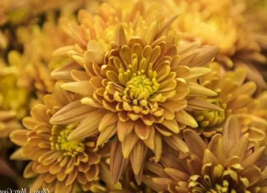 Schöne Blume, Dahlien, Sommer, Natur, Garten, Blütenblatt, Pflanze, Kraut