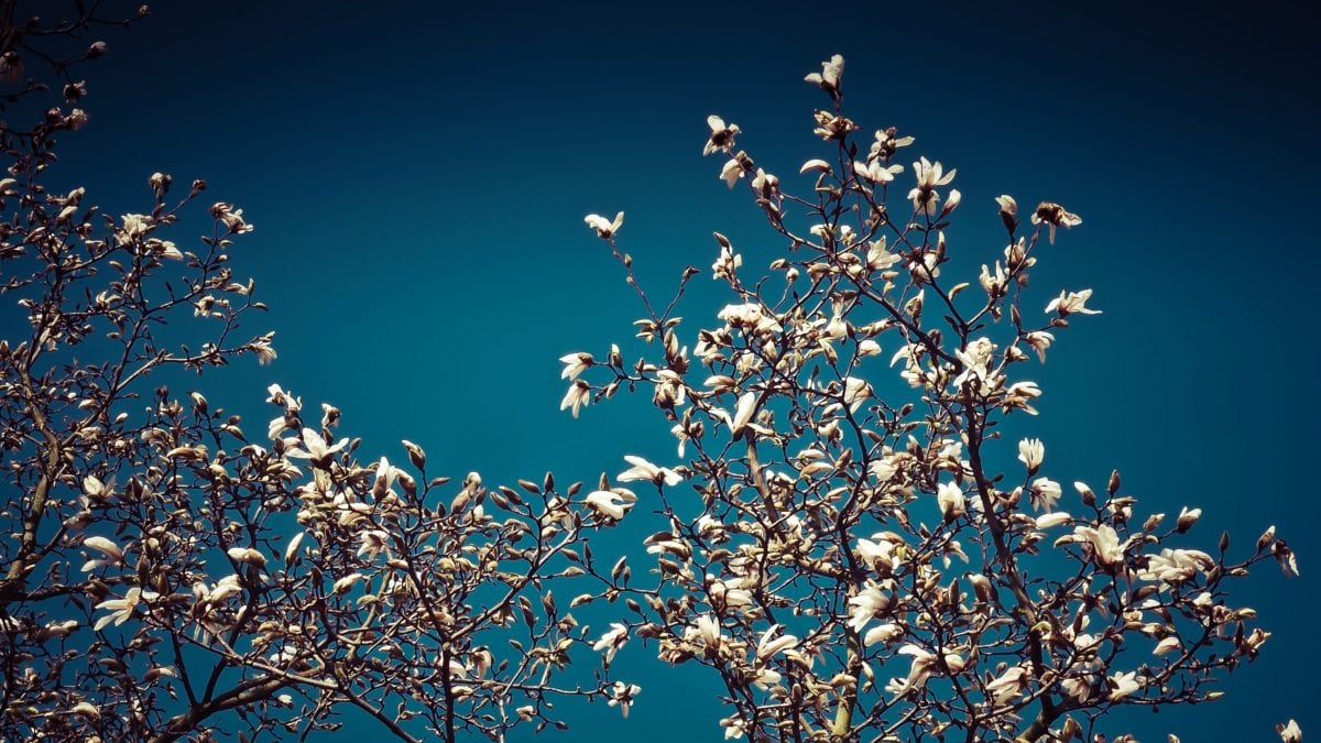 white flower, magnolia, branch, tree, blue sky, herb