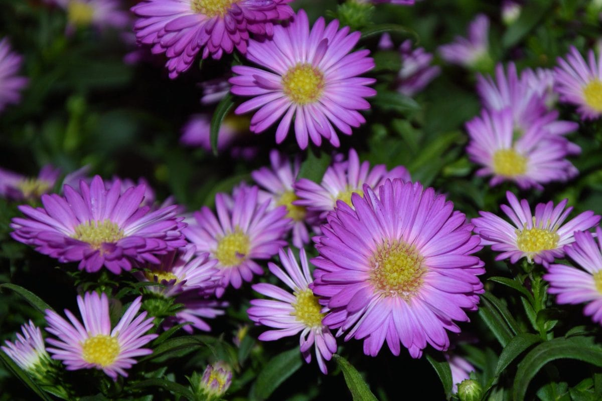 leaf, summer, purple flower, garden, nature, petal, plant, blossom