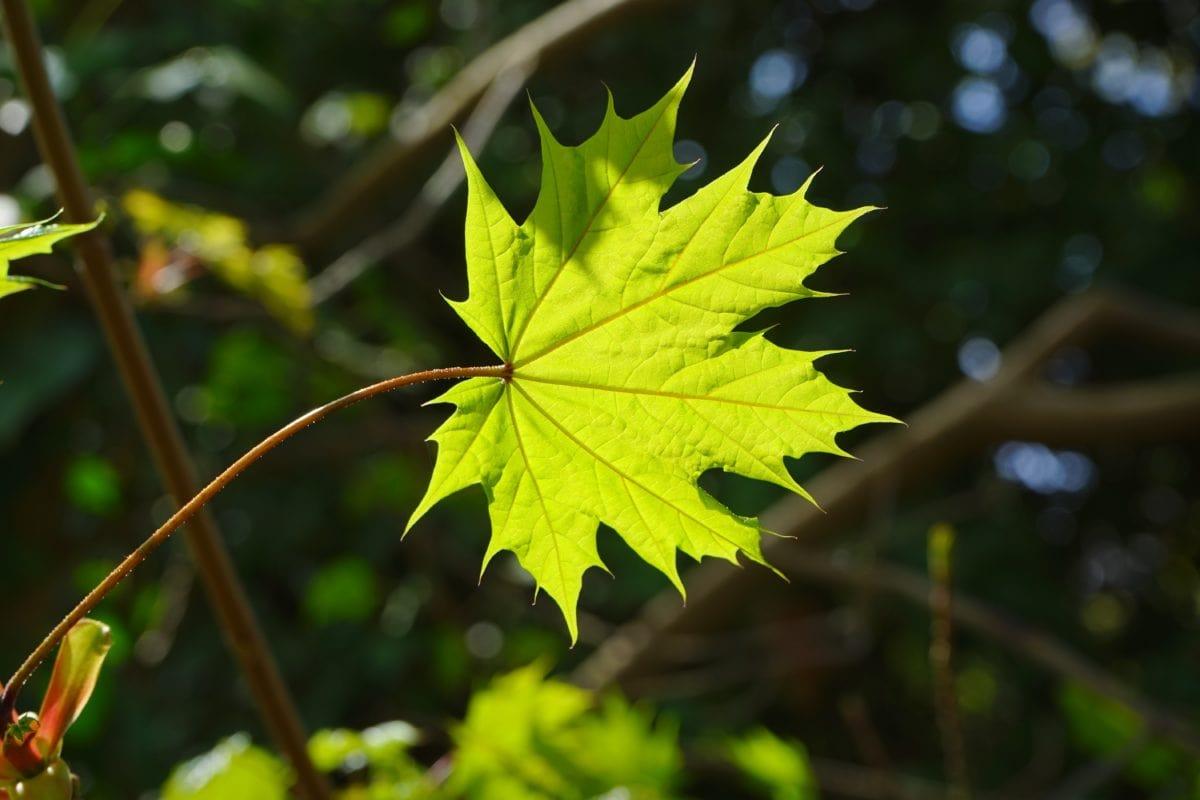 green leaf, nature, garden, tree, plant, sunshine, foliage, forest, autumn