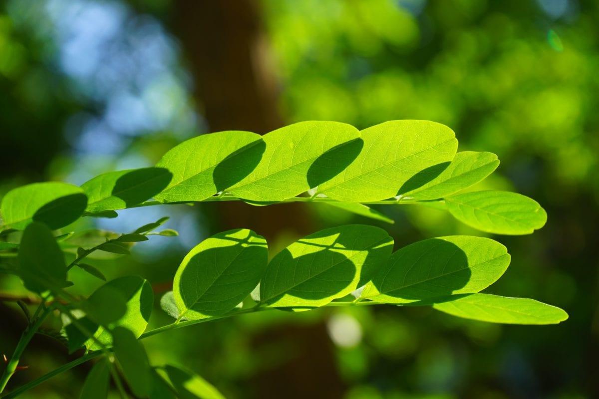 Зелена листа, природа, лято, растение, дърво, гора, зеленина, клон