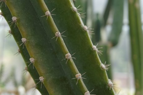 green cactus, sharp, spike, garden, nature, agave, desert
