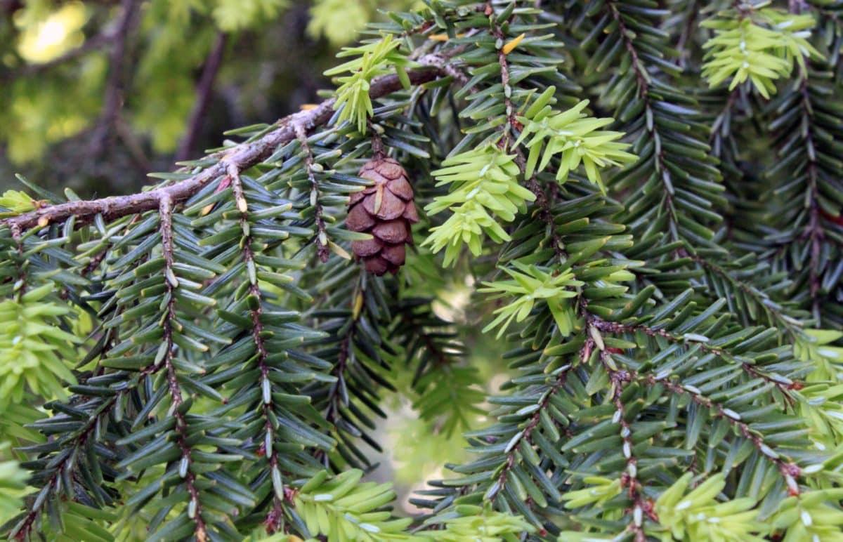 příroda, borovice, Evergreen, větev, strom, rostlina, jehličnan, venkovní
