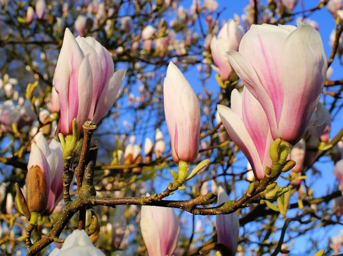 branch, flower, leaf, garden, nature, magnolia, tree
