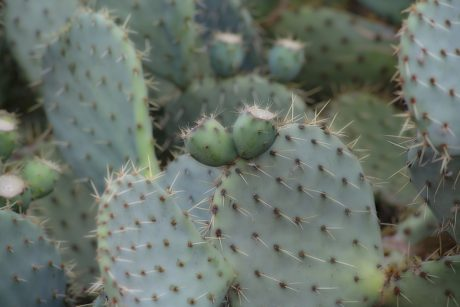 cactus, spike, sharp, agave, nature, desert, dry