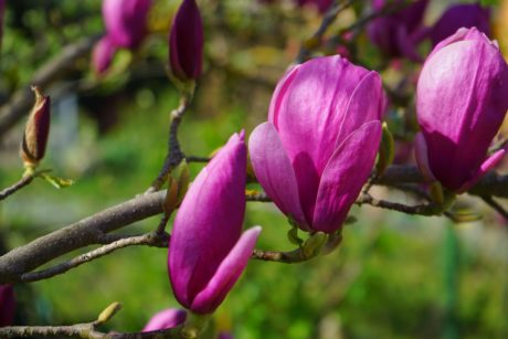 magnolia tree, flower, garden, leaf, nature, petal, plant