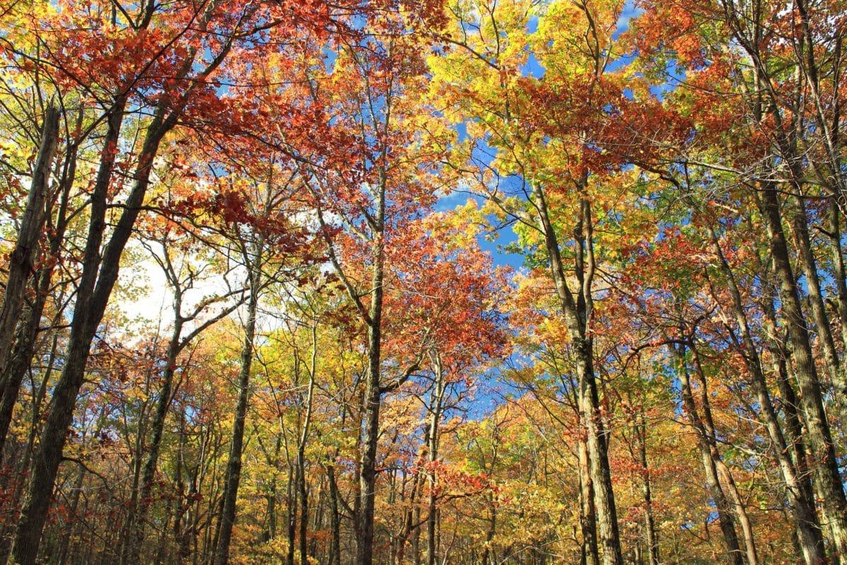 tree, landscape, wood, leaf, nature, autumn, forest, birch, blue sky
