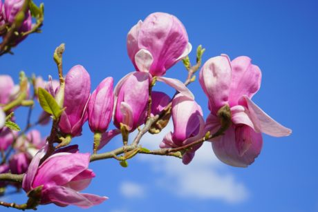 blue sky, magnolia, garden, leaf, beautiful, tree, nature, petal, flower, branch