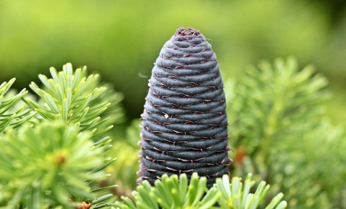 zima, borovice, Evergreen, strom, list, příroda, rostlina, jehličnan