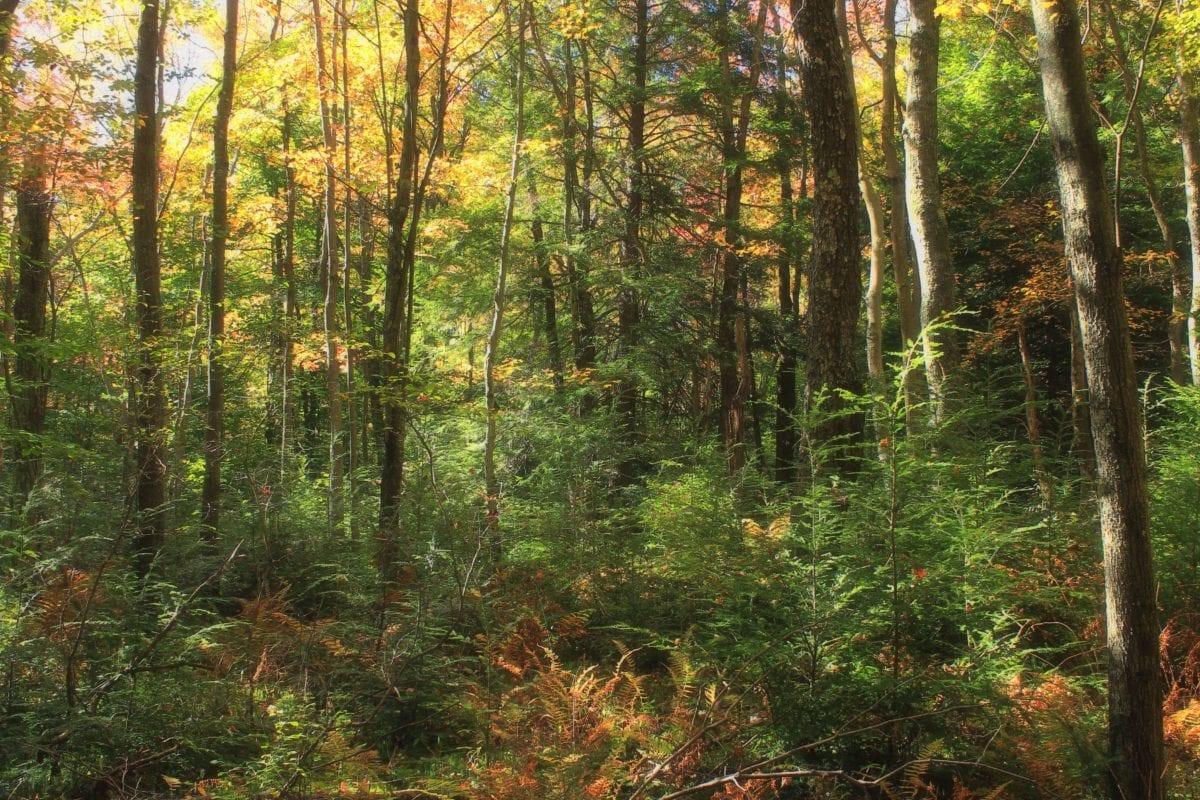 environment, nature, tree, landscape, wood, leaf, forest