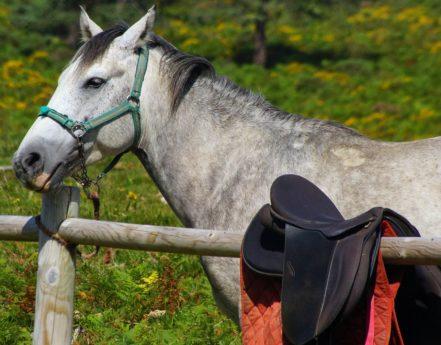 hvit hest, dyr, gress, kavaleri, natur, hingst, equine, leder