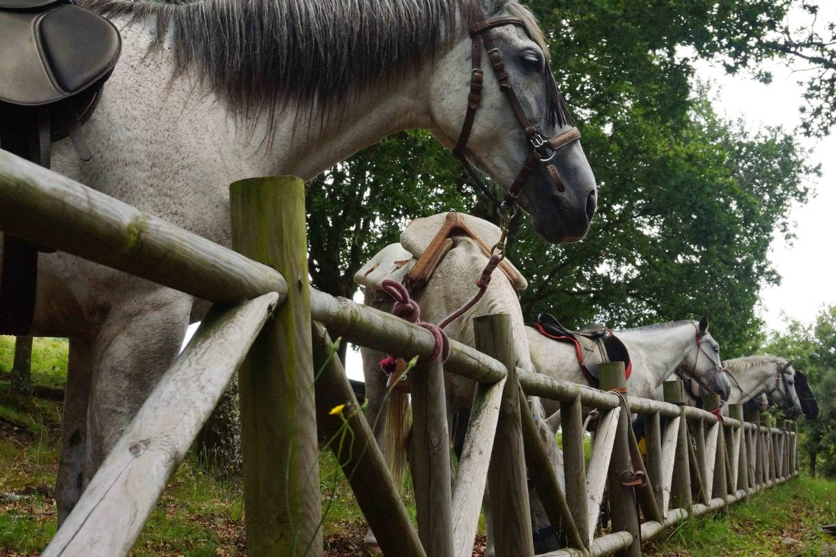 nature, fence, cavalry, white horse, animal, bridle, tree, outdoor