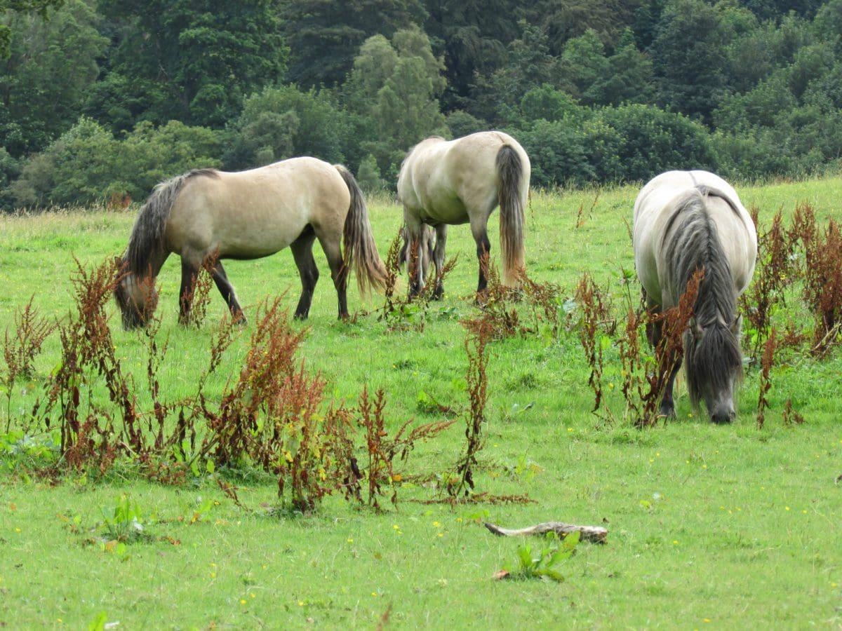 životinja, polje, poljoprivreda, konj, pastuh, ranč, konjica, zelena trava