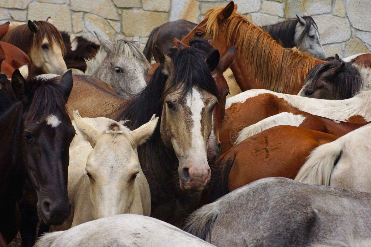 animal, Caballería, ganado, agricultura, ganado, caballo, Rancho