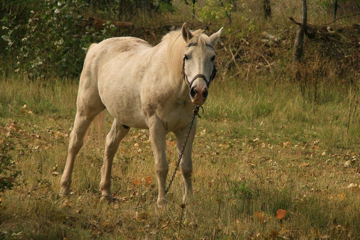 white horse, gren grass, cavalry, animal, stallion, equine, foal