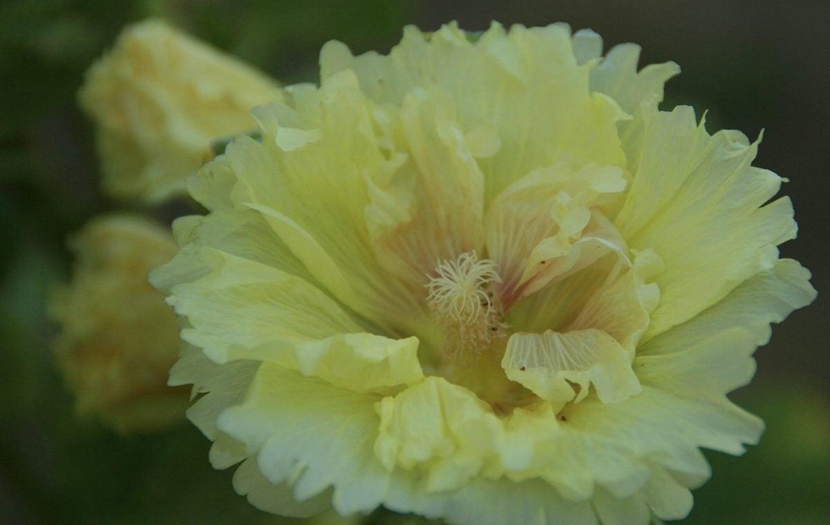 flower, nature, garden, wild rose, petal, plant, bloom, blossom