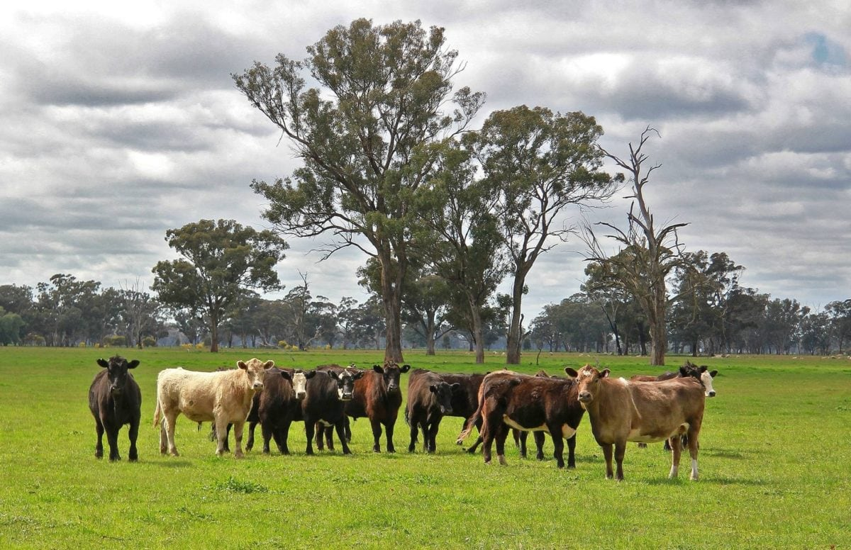cattle, livestock, grass, agriculture, ranch, cow, field