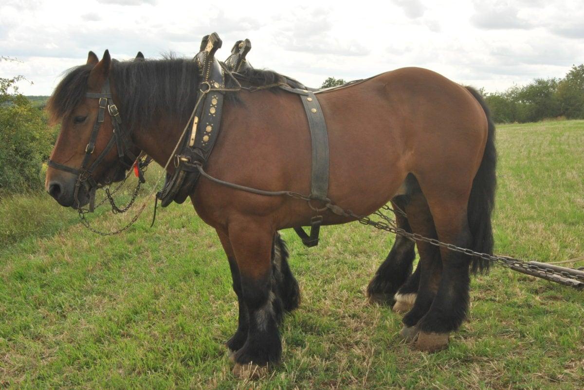 Smeđi konj, konjica, ranč, životinja, pastuh, Bridle, Grass