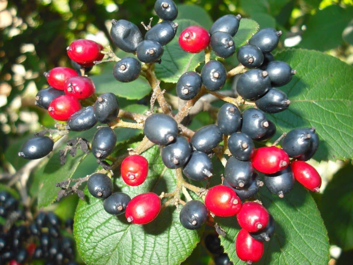 ljeto, ekologija, zeleni list, priroda, grana, bobica, ribizla