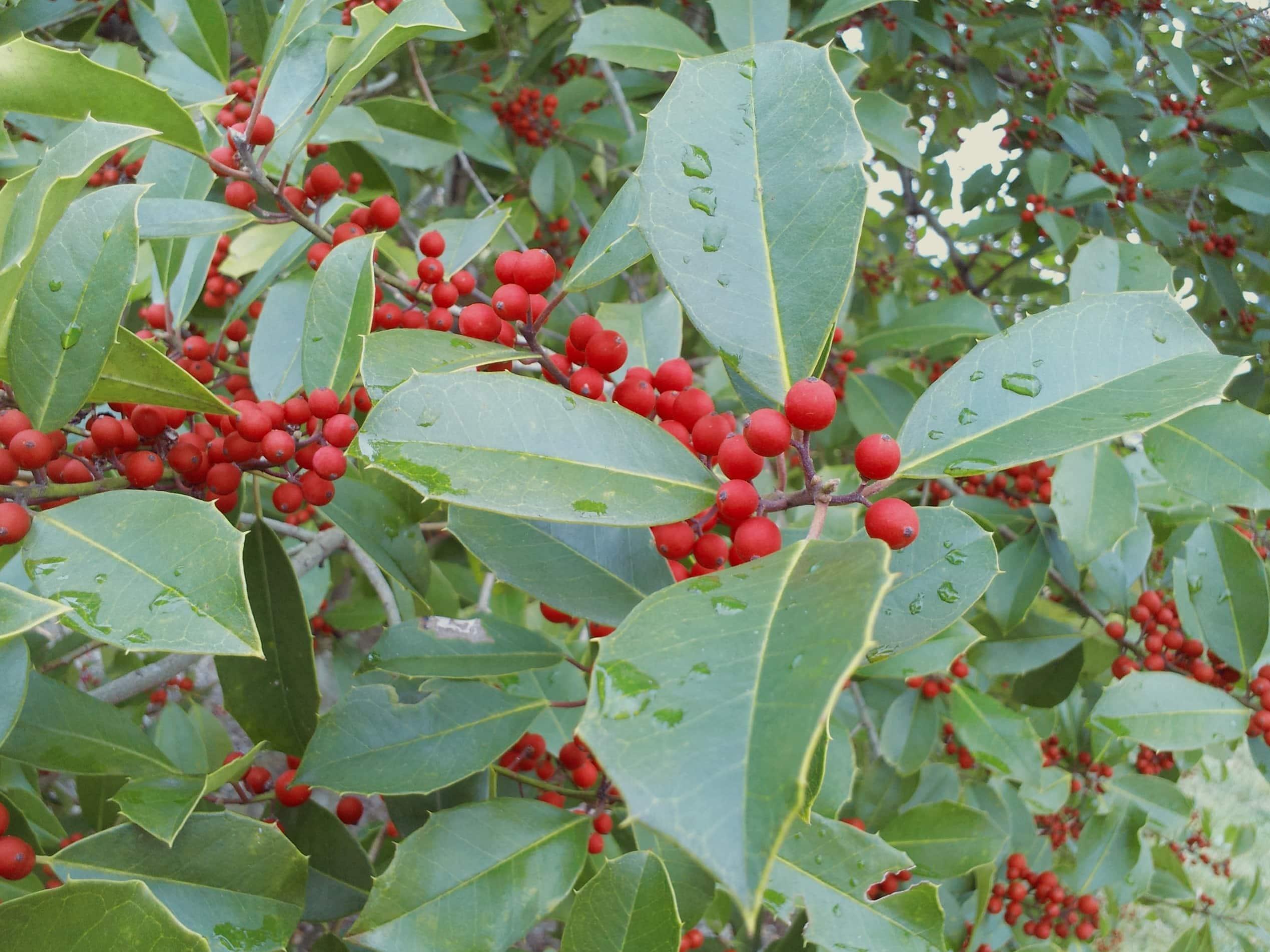 Berühmt Kostenlose Bild: Ökologie, grünes Blatt, Natur, Baum, Rote Beere #PO_99