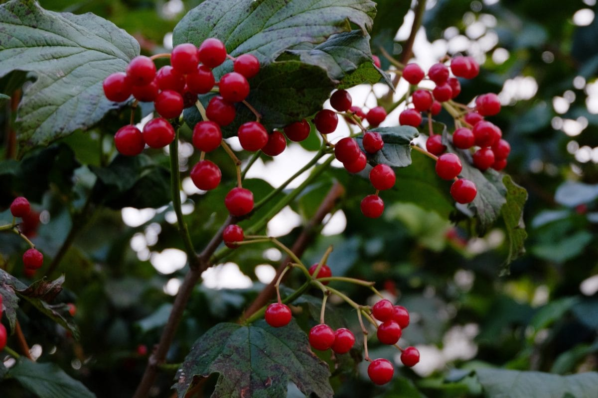 garden, tree, red berry, branch, ecology leaf