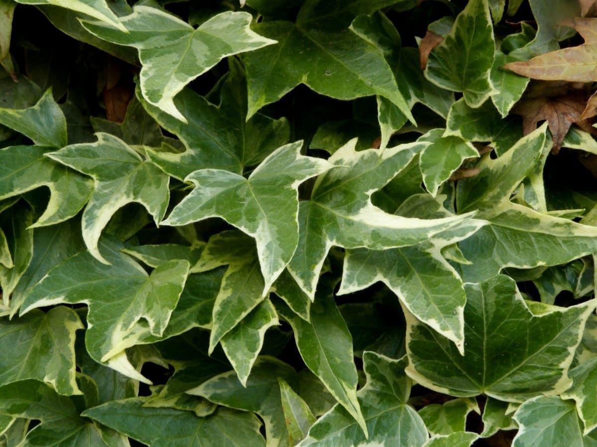 nature, lierre, feuille verte, plante, herbe, légume, écologie, extérieur