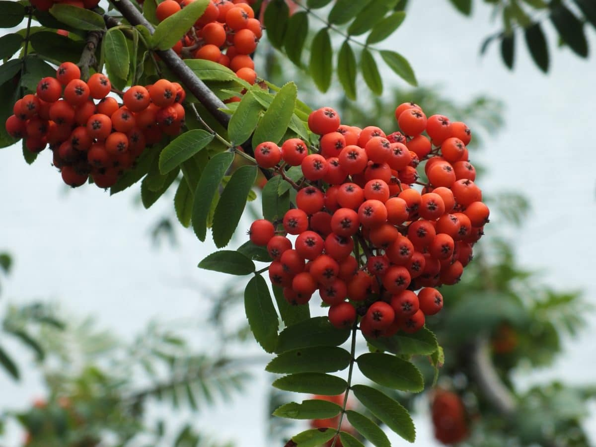 tree, branch, nature, ecology, green leaf, plant, berry