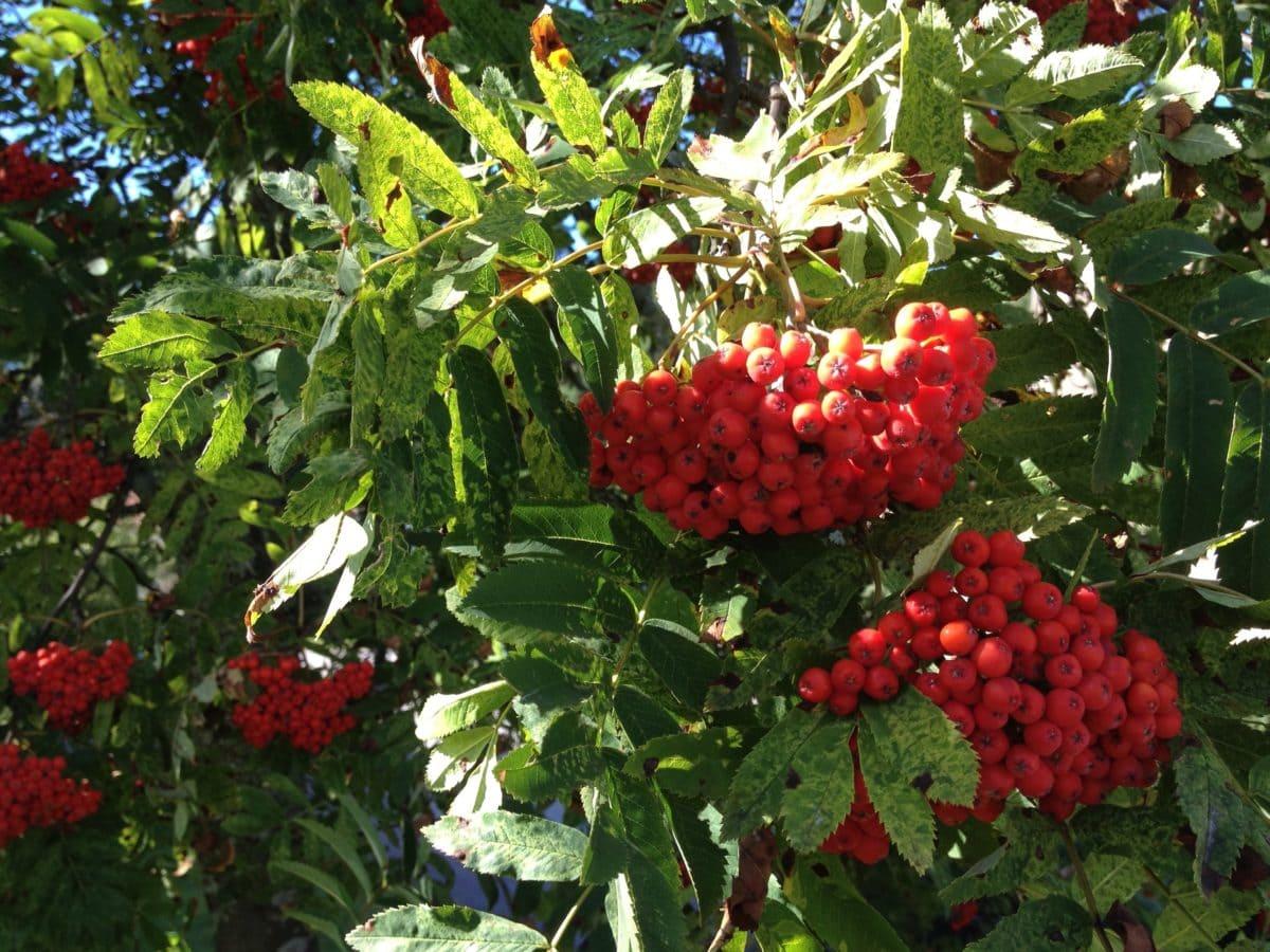 garden, tree, leaf, nature, fruit, branch, berry