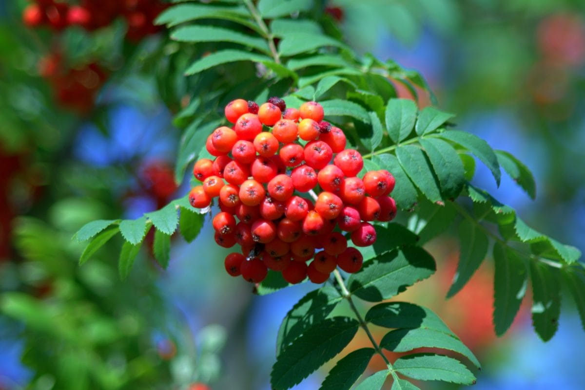 branch, fruit, tree, leaf, nature, summer, plant, berry