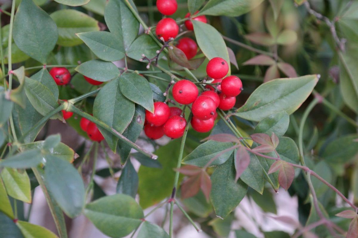 strom, větev, list, příroda, ovoce, rostlina, bobule, zahrada