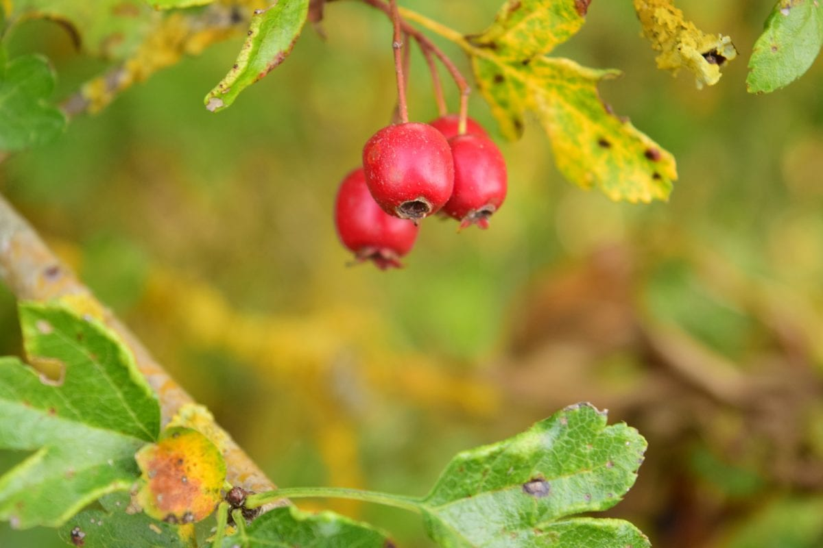 nature, fruit, leaf, food, berry, plant, hip, branch