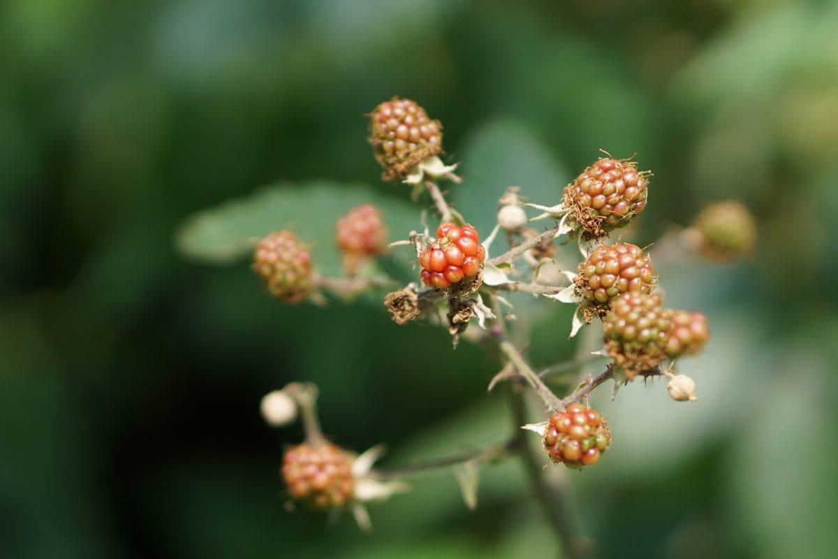 list, priroda, bobica, Bramble, voće, biljka, slatka, organska