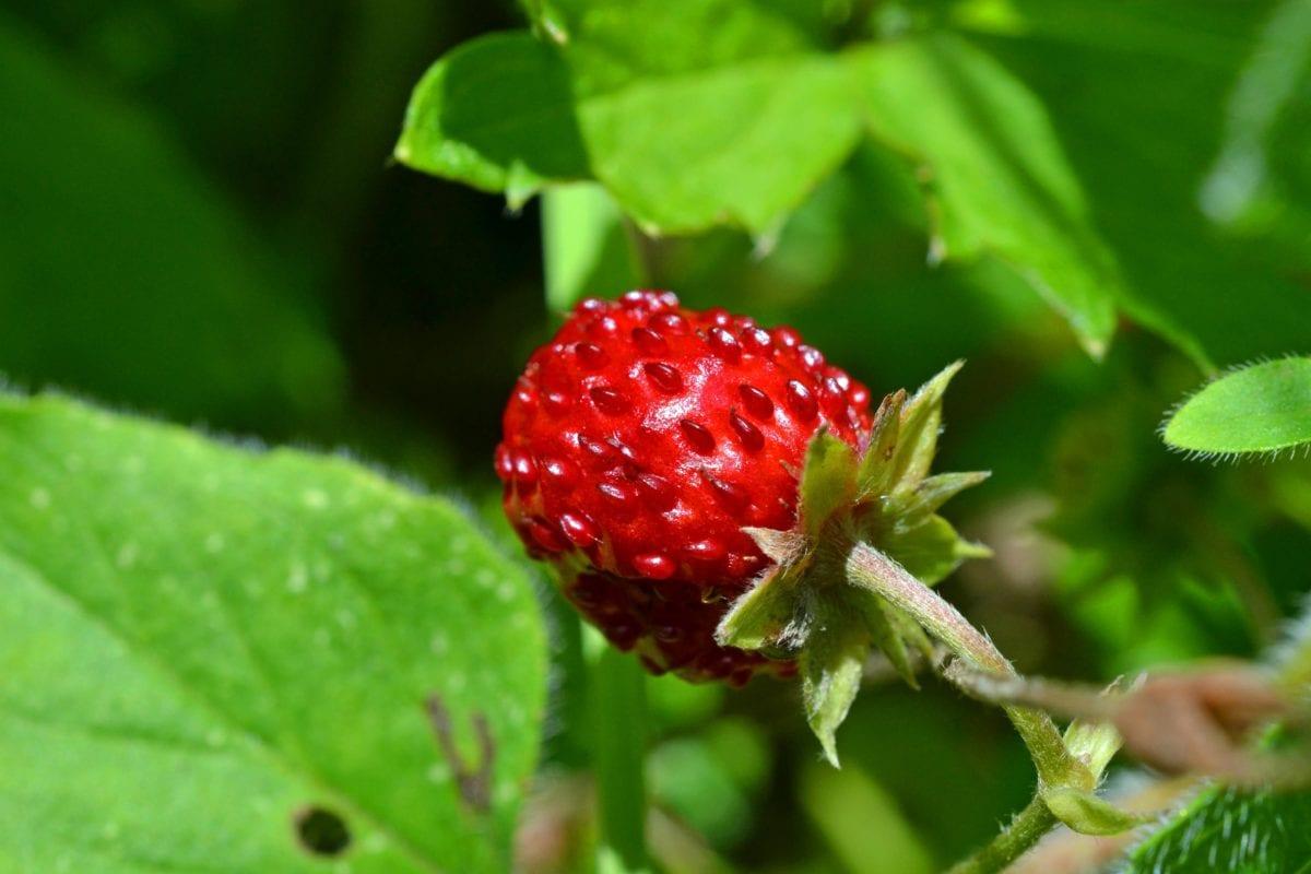 food, garden, green leaf, summer, fruit, nature, strawberry, organic, ecology