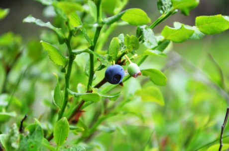 antioxidant, organic, nature, food, summer, fruit, green leaf, blueberry, berry, plant