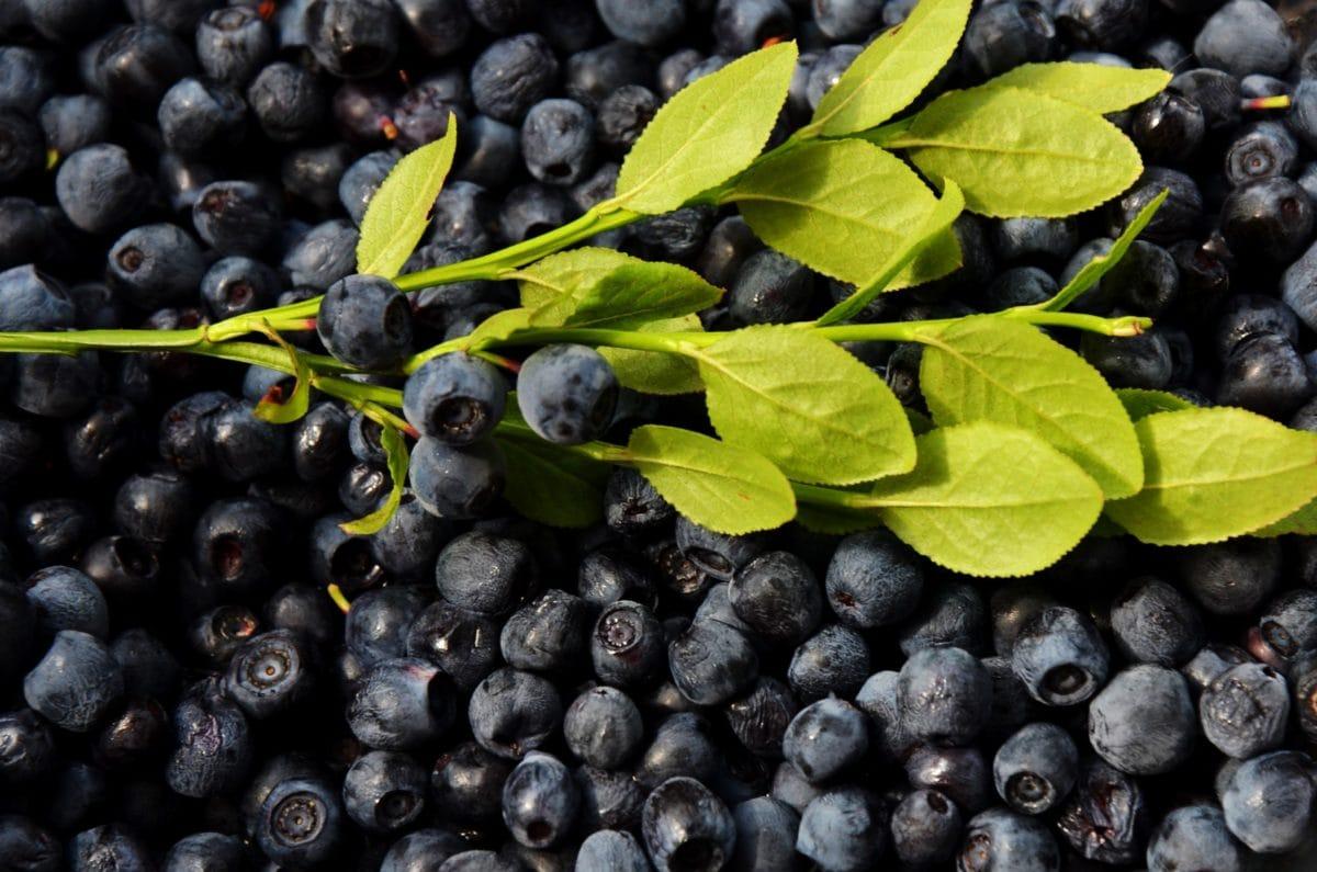 Natur, Blatt, Heidelbeere, Beere, Obst, Lebensmittel, süß, antioxidativ