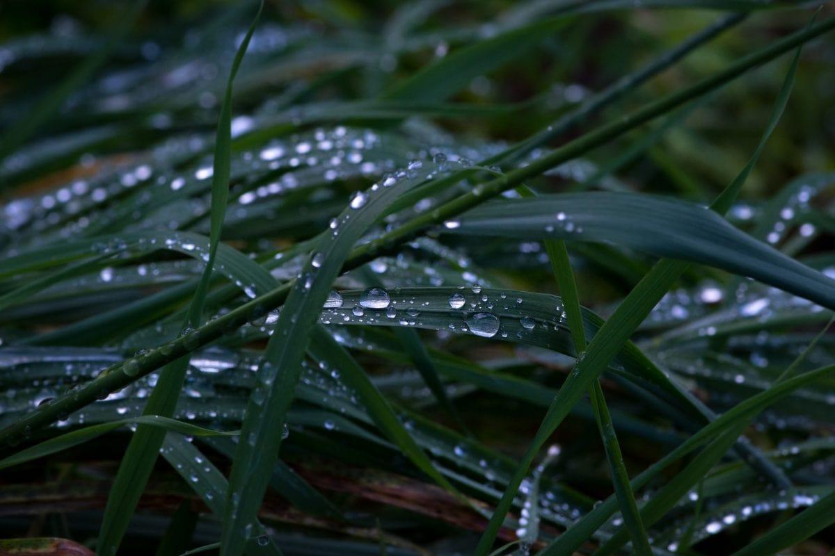 prostředí, zahrada, list, tma, stín, déšť, tráva, příroda, Rosa, rostliny
