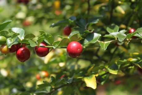 fruit, branch, leaf, food, nature, tree, garden, berry, cranberry