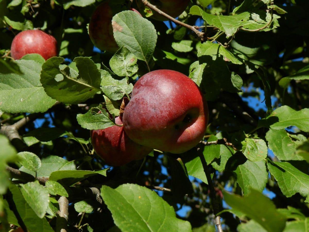 дерево, природа, еда, ветка, фрукты, яблоко, листья, вкусные, органические, фруктовый сад