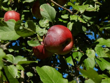 tree, nature, food, branch, fruit, apple, leaf, delicious, organic, orchard