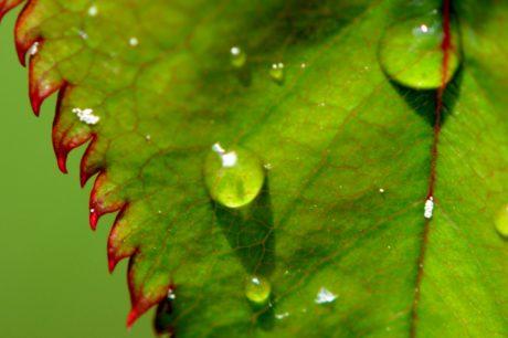 eső, kert, zöld levél, természet, nedves, harmat, ökológia, növény, víz
