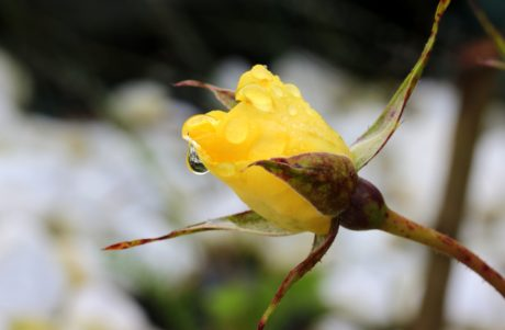 bourgeon de fleur, rosée, rose, nature, feuille, fleur jaune, plante, jardin, rose