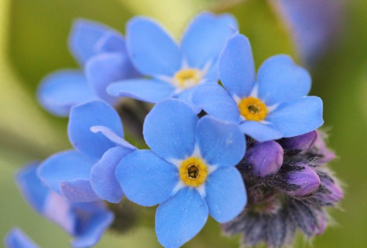 สวน, ธรรมชาติ, ฤดูร้อน, สีฟ้าดอกไม้, ใบ, กลีบดอก, สมุนไพร, พืช, เกสร