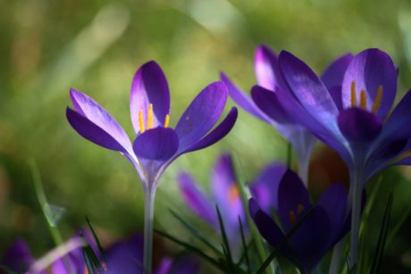 summer, flower, saffron, leaf, nature, blue crocus, garden, plant, shadow, herb